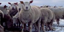 Kandavas novadā saimniecībā RALLE audzē Šarolē šķirnes aitas