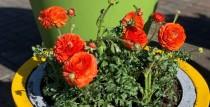 Ventspils dobes rotā pirmie pavasara ziedi