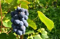 Sabiles Vīna kalnā briest vīnogas