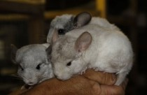 "Chinchilla breeding kennel ""Upeskalni"""