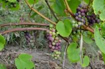 Sabile Wine Hill